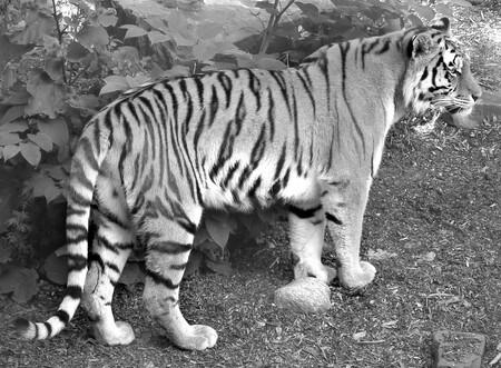Moderní technika odhalila letitou záhadu tygřího zbarvení