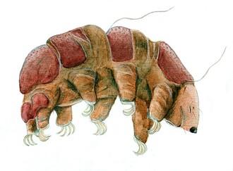 Želvušku zrnitou (Echiniscus granulatus) naleznete v mechu a vrchní vrstvě půdy, ale musíte se dívat opravdu dobře a nejlépe za pomoci mikroskopu, protože dorůstá velikosti jen 0,5 mm. Patří mezi nejodolnější organismy naší planety, neboť v anabiotickém stavu, do kterého želvušky upadají za nepříznivých podmínek, přežijí i extrémní podmínky – teploty v rozmezí od -270 °C do + 120 °C, radiaci až 570 000 radů, pobyt ve vakuu, tlak 75 000 atm. Ožily i želvušky, které byly se vzorkem mechu uloženy 120 let v herbáři, a nejen to, dokonce se začaly okamžitě rozmnožovat.