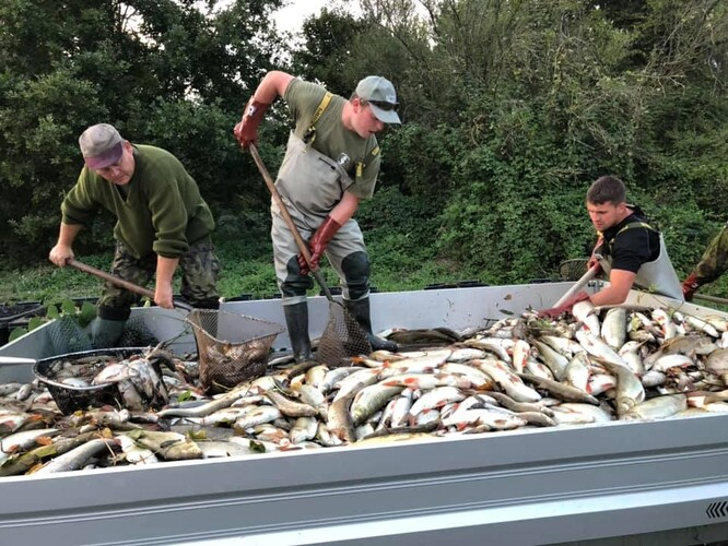 Rybáři odklízejí otrávené ryby z otrávené Bečvy.