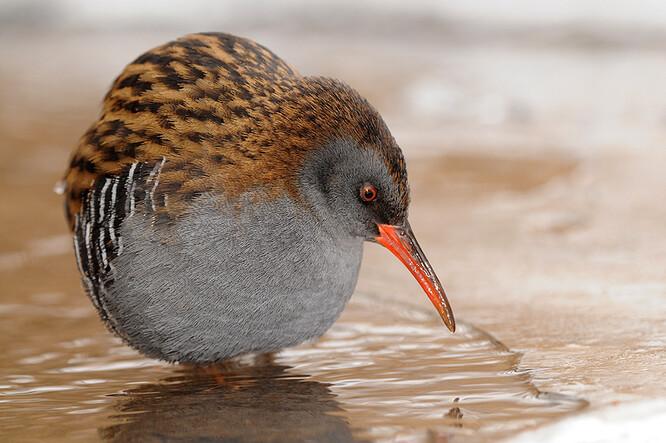 Ornitologové zahlédli hned tři nové druhy zimujících vodních ptáků, poprvé se v mělčinách zarostlých rákosím a v ostřicových bažinách objevil hnízdící chřástal vodní.