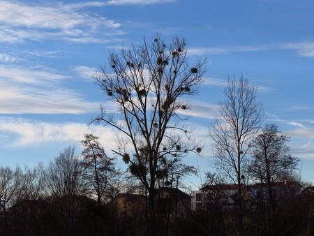 Tisíce stromů na Moravě likviduje cizopasné jmelí bílé. / Ilustrační foto