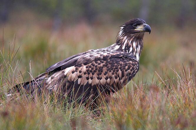 Orel mořský je v Česku kriticky ohroženým druhem.