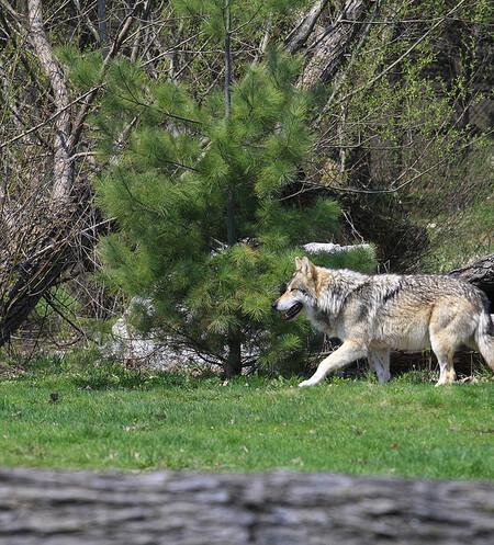 V česko-polském pohraničí mezi Krkonošemi a Orlickými horami žije podle odhadů CHKO Broumovsko více než 20 vlků ve třech smečkách, které mají jádro teritoria zřejmě na polské straně hranice, ale vydávají se i na Broumovsko či Trutnovsko. Ilustrační foto