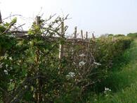 Bukový živý plot