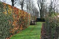 Živý plot z buku