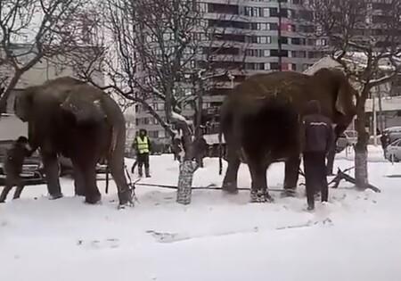 Sloni utekli z cirkusu – přímo do závějí v ruském městě