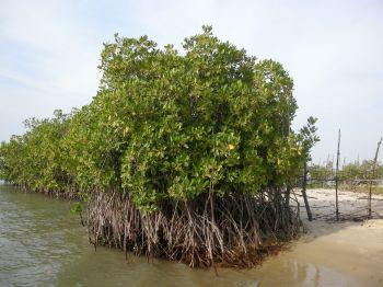 Mangrovy v Senegalu