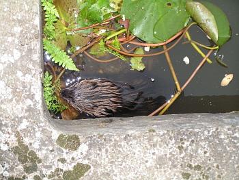 Ondatra pižmová chycená v betonovém bazénku