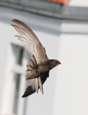 Rorýs obecný v letu