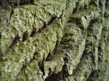 Zvrásněná kůra stromu
