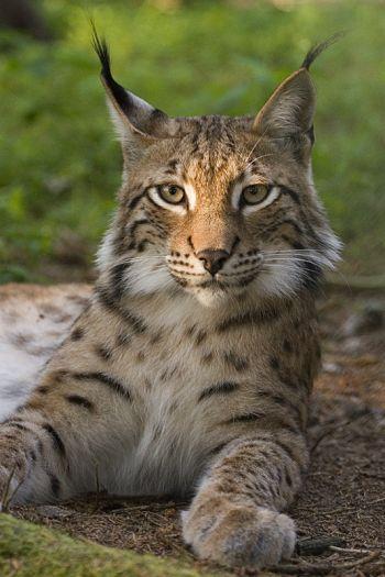 Rys ostrovid (Lynx lynx).
