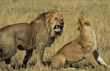 Lev a lvice během milostných hrátek