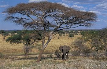 Slon v parku Tarangire
