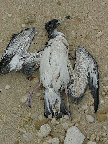 Mrtvý pták na maltském pobřeží