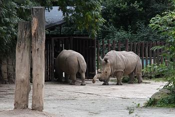Nosorožec bílý severní ([i]Ceratotherium simum cottoni[/i])