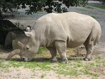 Samice nosorožce Cottonova ze zoo Dvůr Králové