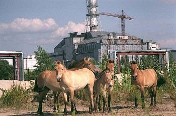 Divocí koně před sarkofágem v Černobylu