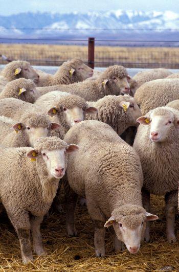 http://ekolist.cz/fotobanka/albums/userpics/10014/z_Flock_of_sheep.jpg