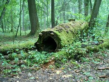 Mytický Bělověžský prales