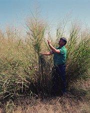 Proso prutnaté (Panicum virgatum) pěstovaná jako biopalivo zejména v USA.