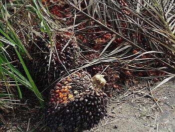 Plod palmy olejové.