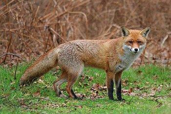 Liška obecná (Vulpes vulpes).
