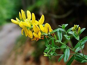 Kručinka barvířská dává krásně žlutou barvu.